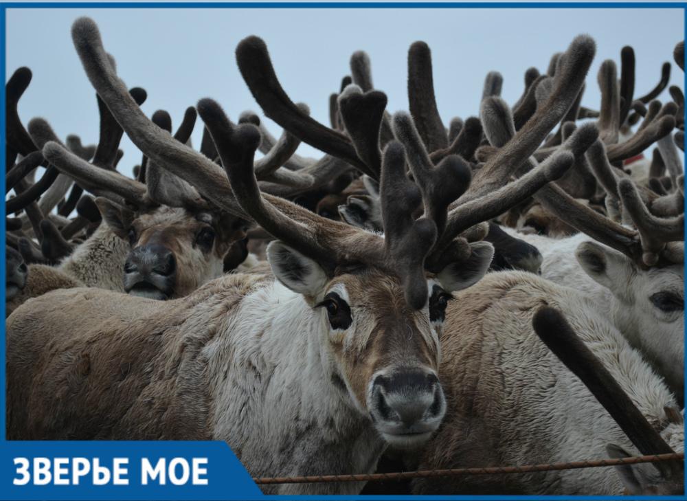 В горах рядом с Сочи открыли ферму по разведению северных оленей
