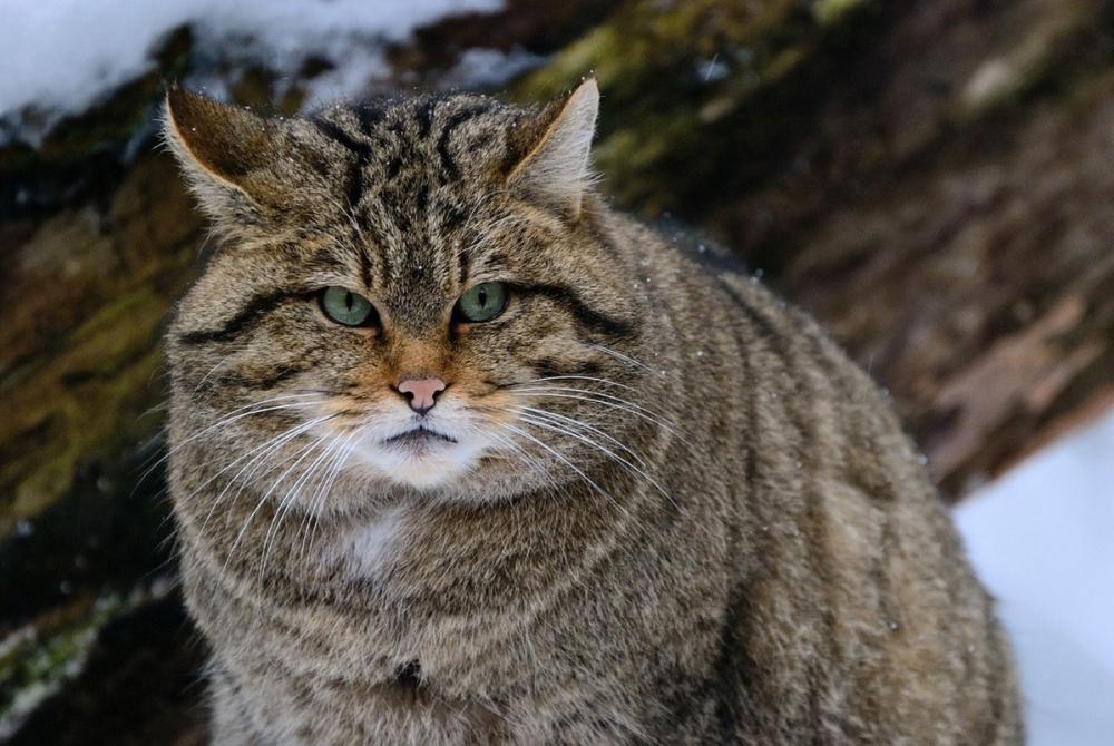 «Зверье мое»: как живется на Кубани эмоциональному лесному коту