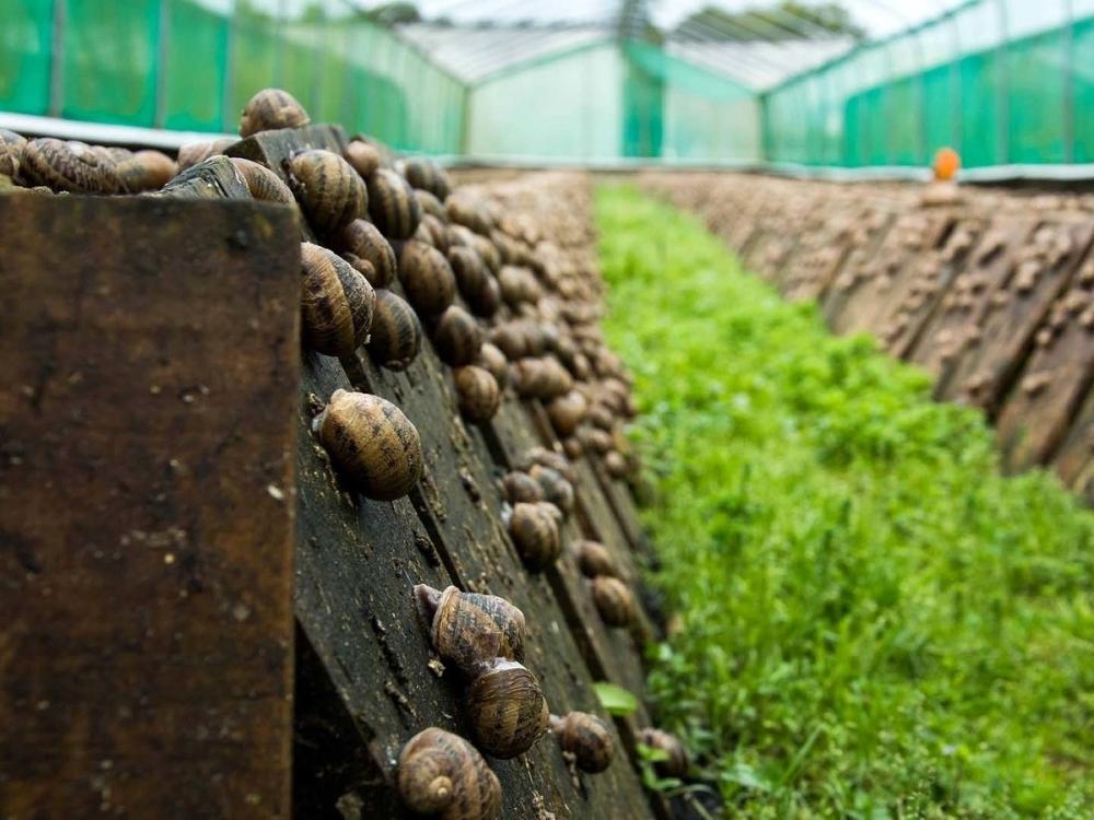 Улиточная ферма войдет в гастрономические маршруты Кубани