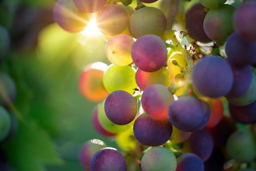 Кубанские виноделы получат поддержку государства