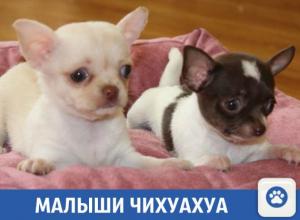 Продаются полуторамесячные щенки чихуахуа