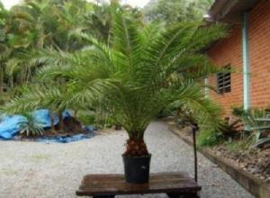 В Сочи мужчина украл у пенсионерки финиковую пальму