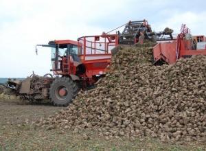 Более 10 млн тонн сахарной свеклы собрали на Кубани