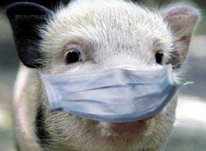 «Это уже просто свинство»: свиньи пойдут «под нож» в Краснодарском крае
