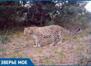 В Сочи выпустят в дикую природу леопарда Викторию, устроившую переполох в Абхазии