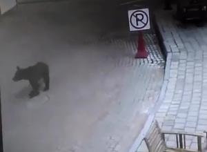 Голодный дикий медведь все чаще выходит к туристам в Сочи