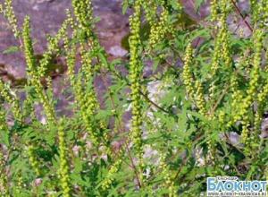 В Краснодарском крае ожидается экстремально высокая концентрация пыльцы амброзии