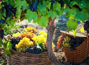 Местного винограда на Кубани станет больше