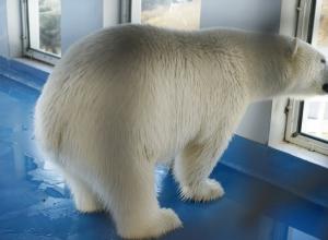 Белый медвежонок освоился в зоопарке Геленджика