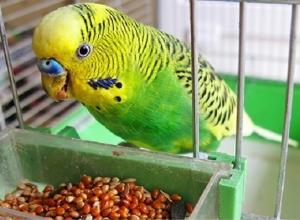 Житель Кубани украл у своего знакомого 10 попугаев