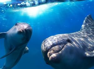 В Сочи начнут обучать спасению дельфинов