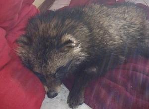 Живодеру, убившему енота и собаку, разбили машину в Краснодаре