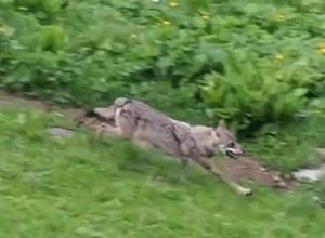 Погоню оленихи за волком снял на видео краснодарский фотограф