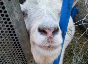 «А ты заведи козу!». Как впустить в дом символ 2015 года