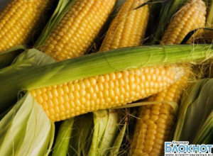 На Кубань пытались ввезти свыше 25 тонн карантинной кукурузы