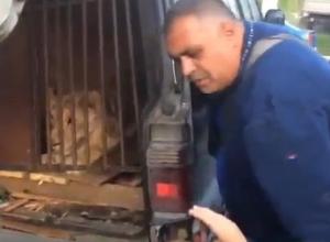 Львицу из Кубани заперли на 10 дней в машине