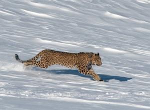 После неудачной охоты в горах Кавказского заповедника погибла самка леопарда Виктория