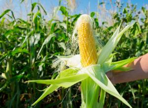 Кубань и Ростовская область дают стране 30 процентов урожая кукурузы