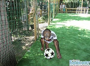 Орангутаны краснодарского зоопарка  предсказали исход матча Германии и Аргентины