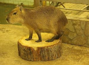 Прилетит на Кубань после ссоры с отцом звезда зоопарка в Калининграде Илон