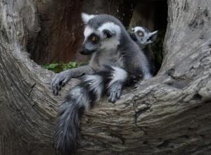 Милота: в «Сафари-парке» Геленджика родился малыш-лемур