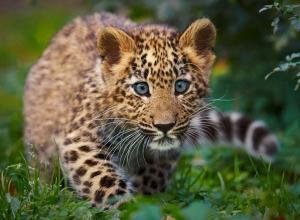 Сайт, торговавший леопардами на Кубани, прикрыла прокуратура