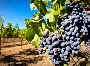 На Кубани увеличат площадь виноградников до 31 тысячи га