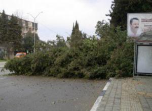 В Сочи медлительность водителя спасла пассажиров от участи быть раздавленными огромным кипарисом