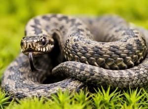 На Кубани участились нападения змей на детей