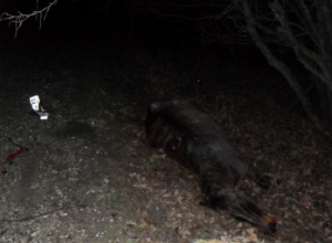 Водитель насмерть сбил лошадь под Новороссийском