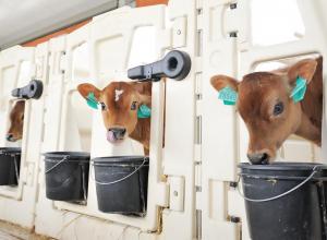 Дефицит коров на Кубани исправит новый центр селекции