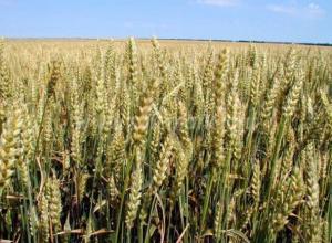 На Кубани озимой пшеницей засеяли 1,5 млн га