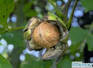 Грецкий орех может стать символом Краснодарского края
