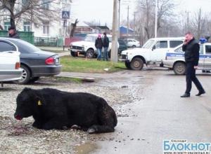 В Выселках полицейские помогли поймать взбесившегося быка
