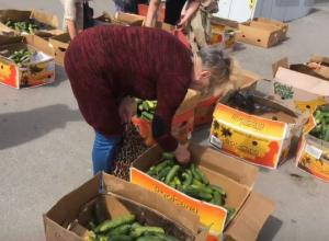 Вынужденно раздали несколько тонн бесплатных огурцов кубанские фермеры в Санкт-Петербурге