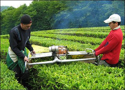 В Сочи собрали рекордный урожай чая