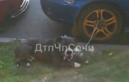 Собаку привязали к колесу машины на жаре в Сочи