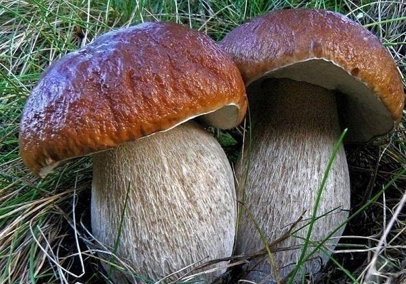 На Кубани 15 человек отравились токсичными грибами
