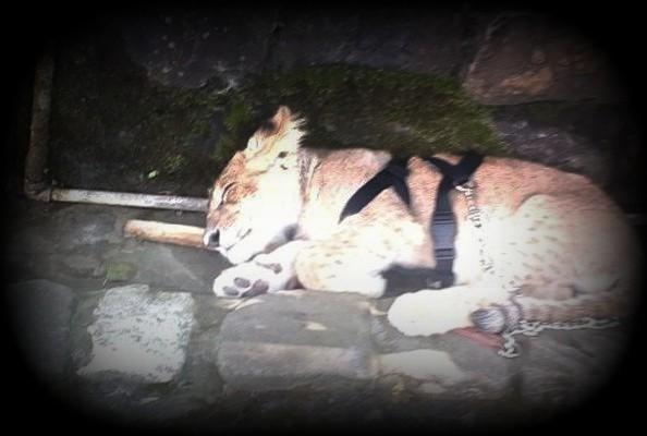 В Геленджике из больного львенка сделали фотомодель