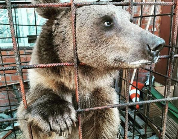 Краснодарцы организовали помощь медведю Афанасию, попавшему в трудную жизненную ситуацию