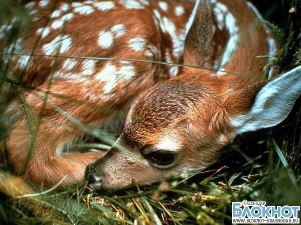 В Кавказском заповеднике Краснодарского края увеличилась смертность оленят