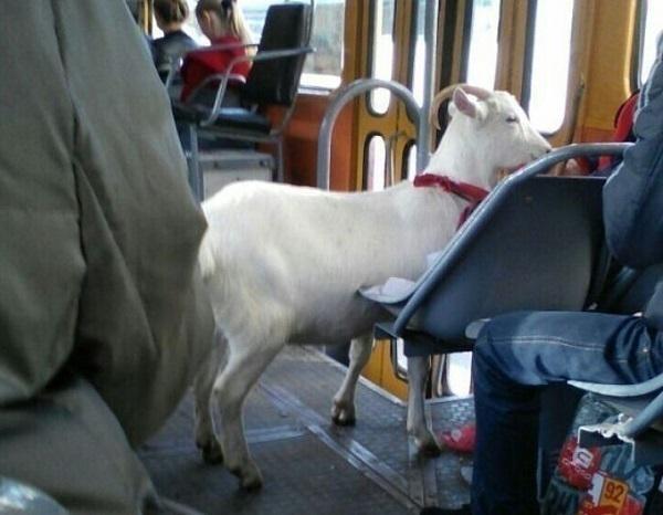 В Краснодаре пассажирка с козой прокатилась в трамвае