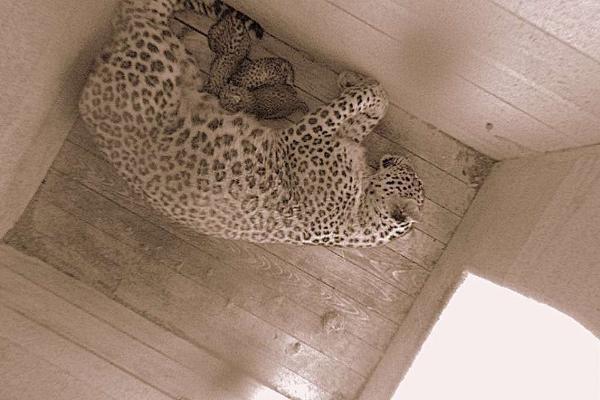 Усамки леопарда вСочи появилось потомство