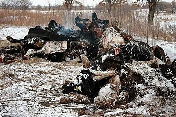 Росссельхознадзор Кубани обнаружил горы трупов животных на свалке в Каневской