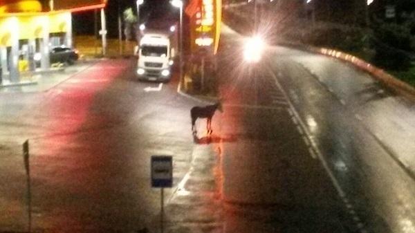 Всю ночь по Адлеру гуляла бесхозная лошадь