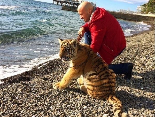 В Сочи нашли тигренка Шиву возле частных домов