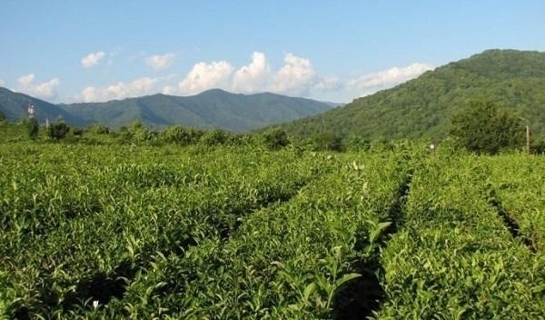 Кубанские производители чая и кофе подняли цены еще до наступления 2015 года