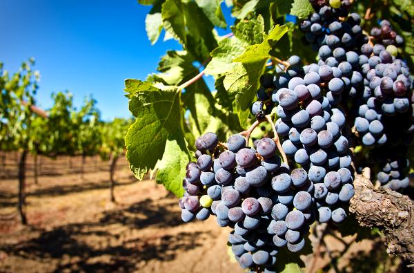 НаКубани к 2021-ому году практически натреть увеличат площадь виноградников