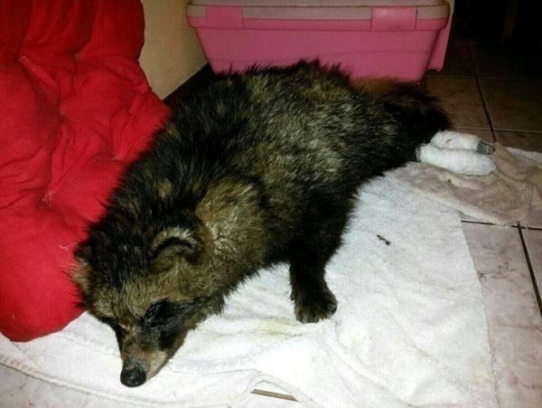 В Краснодаре выяснили личность живодера, убившего собаку и енота