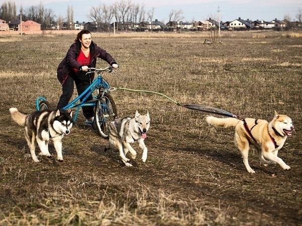 В Краснодаре устроили забег с хаски на трехколесных велосипедах